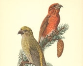 RED CROSSBILL Vintage Offset Lithograph, printed in 1953, 67 years old fine print