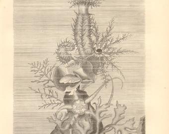 Afterie Asterias c1745-1760