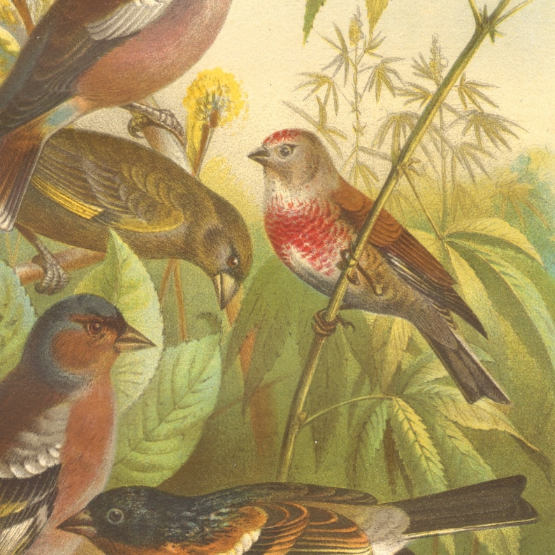 1882 FINCHES Antique Lithograph 139 yrs old fine print European Greenfinch Common Chaffinch /& Brambling LINNET Bird Art Print HAWFINCH