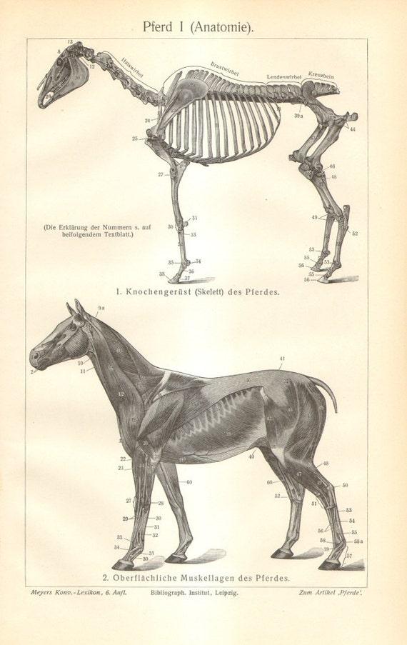1905-Pferdenanatomie Skelett und Muskelsystem Außen und