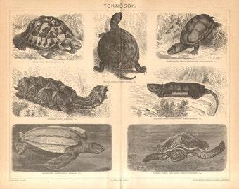 1896 Turtles, Tortoise, European Pond Turtle, Eastern Mud Turtle, Mata Mata, Leatherback Sea Turtle, Hawksbill Sea Turtle Antique Engraving
