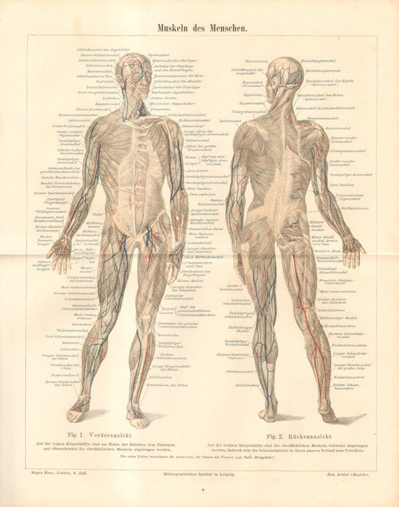 Anatomy Muscles Of The Human Body Antique Lithograph Etsy
