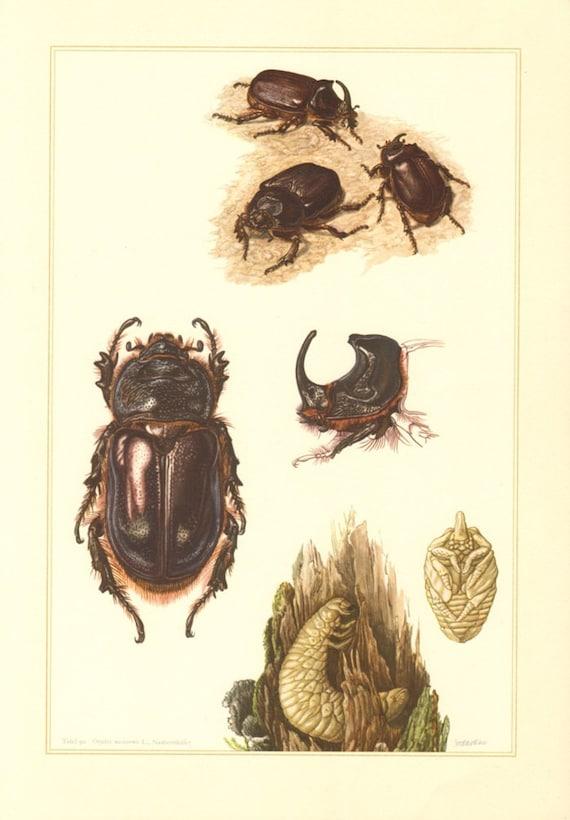 1956 scarab beetles scarabaeidae european rhinoceros beetle etsy