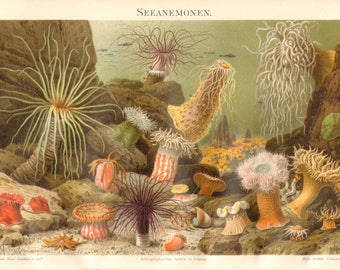 1897 Sea Anemones, Beadlet Anemone, Tube Anemone, Golden Anemone, Cloak Anemone, Star Coral, Trumpet Anemone, Tube Worm Antique Lithograph