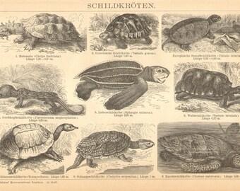 1896 Turtles, European Pond Turtle, Big-headed Turtle , Leatherback Sea Turtle, Yellow-footed Tortoise, Hawksbill Sea Turtle Antique Print