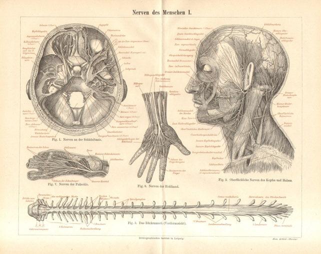 1890 Anatomie Nervensystem des menschlichen Körpers Nerven | Etsy