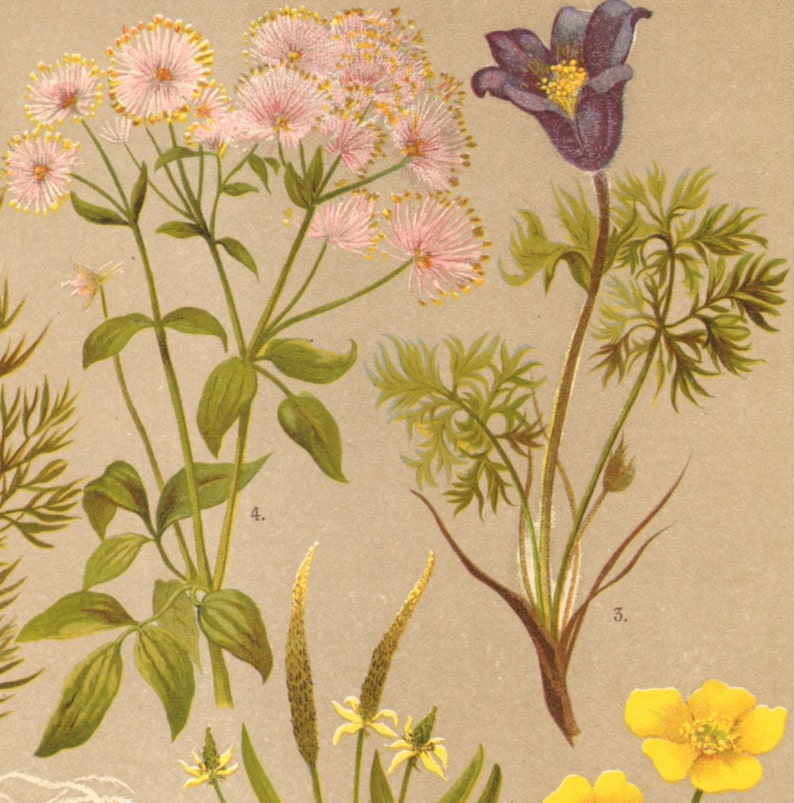 Old man/'s Beard Pasque Flower Greater Meadow-rue 110 years old fine print Summer Pheasant/'s-eye 1911 BUTTERCUPS Antique Lithograph