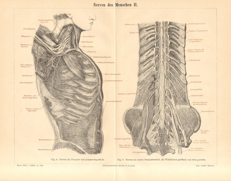 1890 Anatomy Nervous System Of The Human Body Nerves Of The Etsy