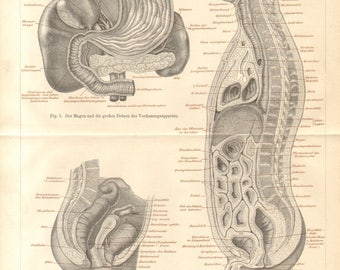 1890 Intestines, Bowels of the Human Body, Stomach, Female Pelvic Organs Original Antique Engraving