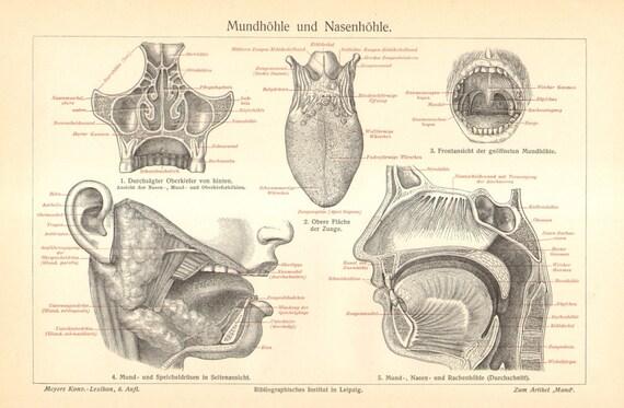 1904-Anatomie der Mundhöhle und Nasenhöhle Original antiken | Etsy