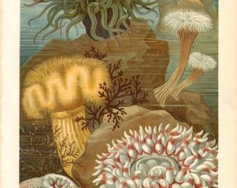 1897 Sea Anemones, Actiniaria Original Antique Chromolithograph