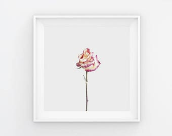 A Beautiful Demise VII Pink Rose Photography Print