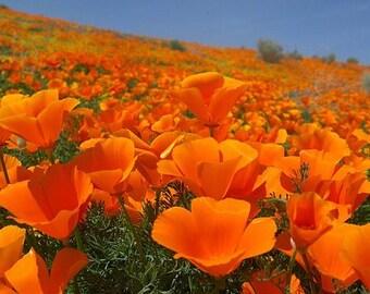 Golden poppy etsy california poppy golden poppy state flower of california mightylinksfo