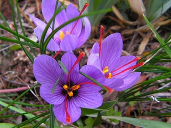 3 Saffron Crocus Sativus Corms Etsy