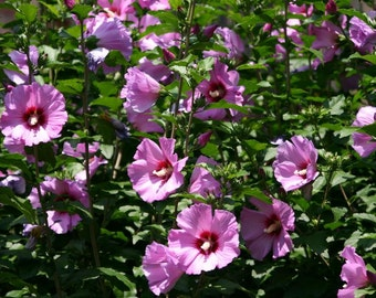 10 Pink  Hibiscus Plants or Shrubs, Hardy, Rose of Sharon, Perennial