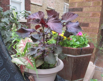 6 Live fully rooted, Perilla Frutescens, Deep Purple Plant, Plant on the Ground or on the Balcony
