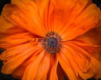 poppy, 8x10 fine art color photograph
