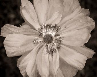 poppy, 8x10 fine art black & white photograph, nature