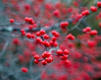 winter berries, 8x10 fine art color photograph