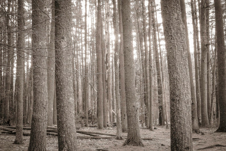 pines at big deep 8x10 fine art black & white photograph image 0