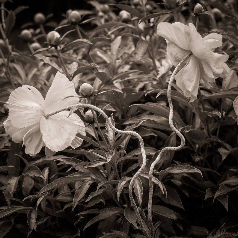 poppies 8x10 fine art black & white photograph nature image 0