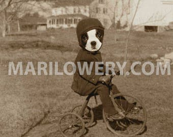 Boston Terrier Dog on Bicycle Animal in Suit Art Print, Dog Lover Gift Dorm Room Decor 5 x 7 Inch Print