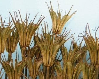 Nigella Pods bunch | Dried seed pods | Love in a mist pods | Nigella orientalis