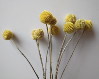 Billy buttons 10 stems | Craspedia yellow dried flowers bunch | Dried flower arrangements, bouquets and floristry