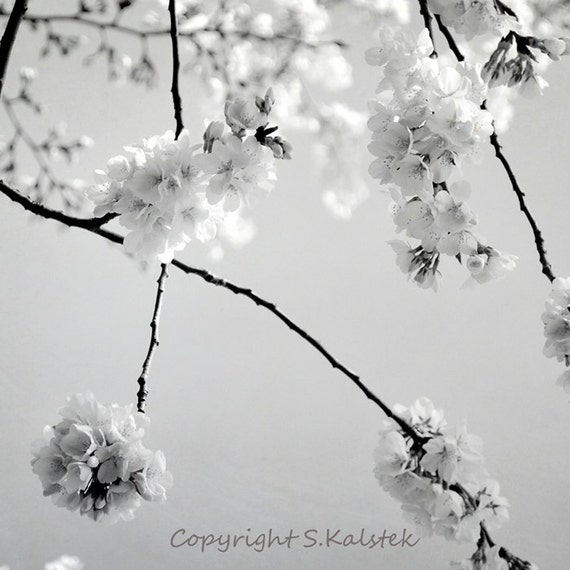 Cherry Blossom Art Photograph Black And White Spring Blossoms