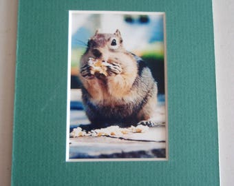 Golden Mantle Ground Squirrel Mini Matted Photo, FREE SHIPPING,