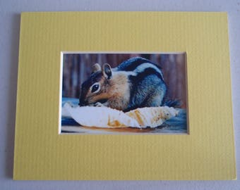 Golden Mantle Ground Squirrel Mini Matted Photo, FREE SHIPPING