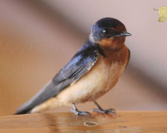 Young Swallow Sitting Photograph