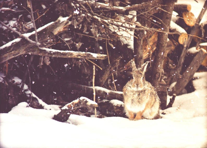 Bunny Rabbit Photograph Fine Art Photography,Gifts under  25,nature,wildlife,wall art for child's room,home decor,winter  scene,adorable,snow