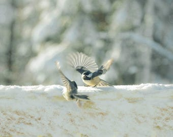 Chickadee, Bird Photograph,Nature Photography,chickadees in winter landscape,black capped chickadee,cute bird print,wall art,soft blue,aqua