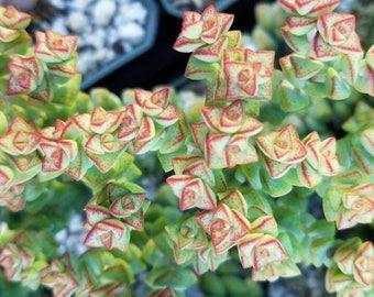 Crassula rupestris subsp. commutata