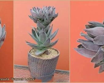 Rare new hybrid Crassula 'Garnet Lotus'