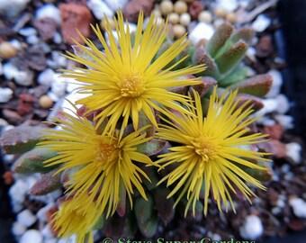 Stomatium mustellinum (Night-Blooming Iceplant).  Super fragrant