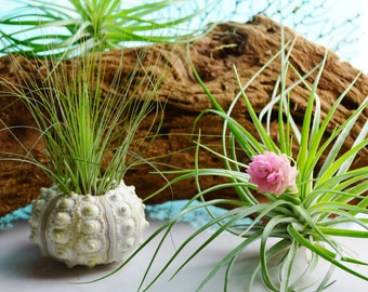 Filifolia Tillandsia Airplant ~ Fuzzy Little Air Plant on Left ~ Grassy Air Plant ~ Air plant only or Option with shell at checkout ~ Gift