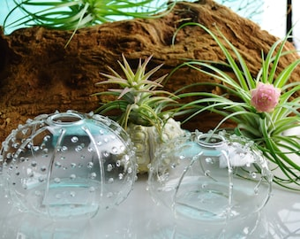 Sea Urchin Glass Vase ~ in 2 sizes ~ Great for Japanese Moss Ball terrariums ~ Vase Only ~ Size choice at checkout