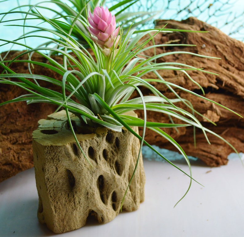 Houston Air Plant Pink Bloom ~ 4-6 inches ~ No soil needed ~ May not be in Bloom ~ Plant only