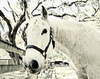 White Horse Beauty Black and White Sepia Photography Art Print Horse 11x14