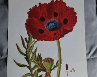 Great Scarlet Poppy Botanical Illustration Print