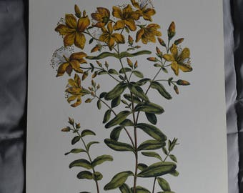 St. John's Wort Botanical Illustration Print