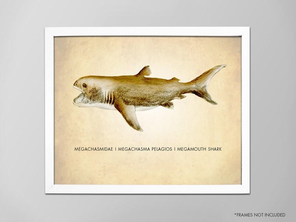 Megamouth Shark Druck wissenschaftlichen Kunstdruck