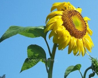 Flower Photograph, Sunflowers, 8x10, Sunflower Photos, Pictures of Sunflowers