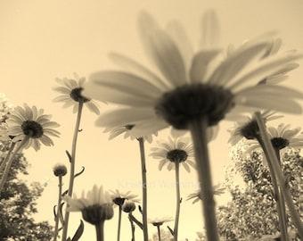 Flower Photos, Shasta Daisies, 8x10 Print, Flower Pictures, Sepia