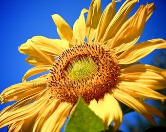 Sunflower Photos, Sunflowers, Sunflower Picture, Flowers, Yellow, Summer, Flower Garden, Blue Sky, Gardening
