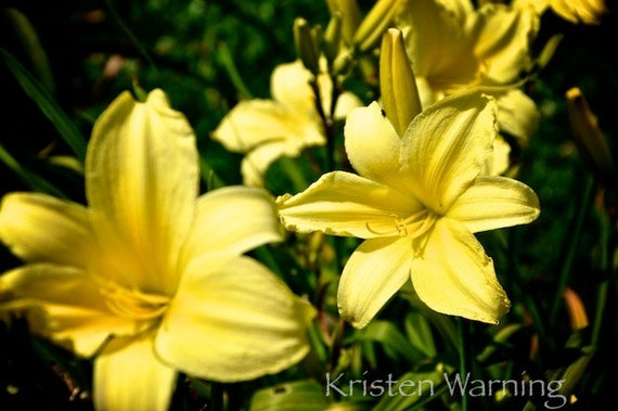 Yellow Lilies Flowers Summer Flowers Lily Photos Etsy