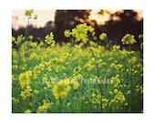 Mustard Plant. Yellow Flo...