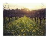 Vineyard Photography. Mus...